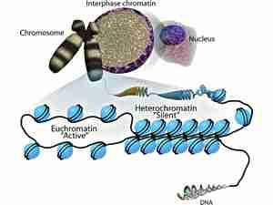 Diagramma che mostra la struttura del DNA, della eucromatina, dell'eterocromatina e dei cromosomi