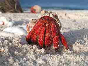 Un paguro mentre esce dal guscio del gasteropode in cui trova rifugio normalmente
