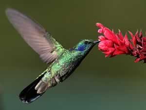 Il colibrì mentre si nutre del nettare di un fiore