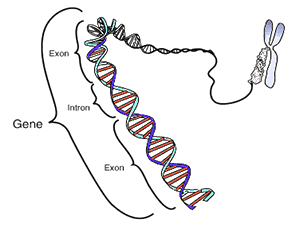 Legame tra struttura del DNA, geni e cromosomi